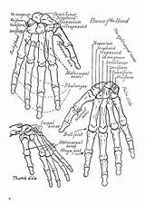 Anatomy Coloring Human Pages Printable Physiology Bones Hand Bone Muscles Hands Drawing Anatomical Worksheets Skeleton Sheets Adult System Study Adults sketch template