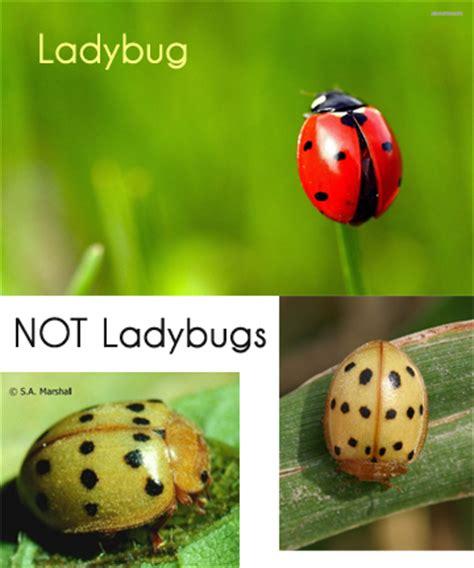 ladybug vs asian beetle mexican bean beetle vs ladybug gardenpests landscape art gorgeous gardens pinterest