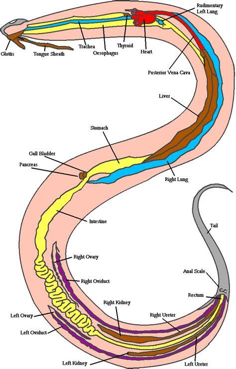 Snake Body Parts Diagram