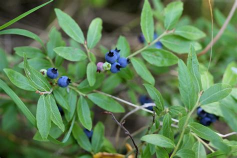 Blueberry Leaves May be Used to Heal Hepatitis C