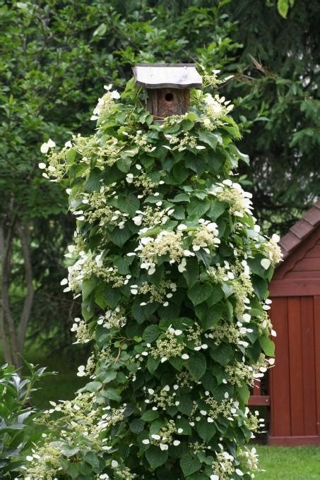Climbing Hydrangea After Tearing Down Yards Of English