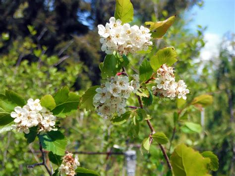 wshgnet blog scientific names  plants demystified