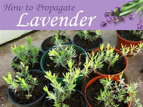 how to plant lavendar hometalk plants for free how to propagate lavender