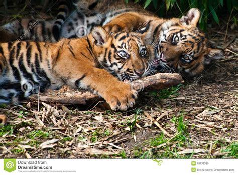 Two Cute Sumatran Tiger Cubs Playing Stock Image