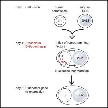 dna synthesis  required  reprogramming mediated