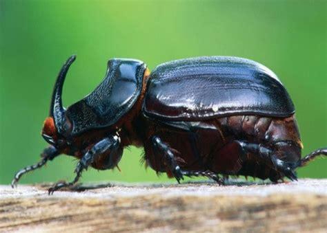 Coconut rhinoceros beetle: Oryctes rhinoceros - BLOGS