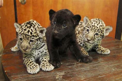 Jaguar's Blog