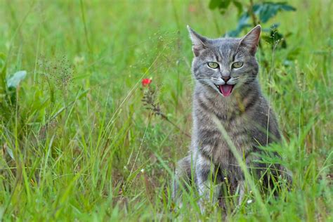 breathing fast cat lymphoma cats why symptoms causes definition symptom