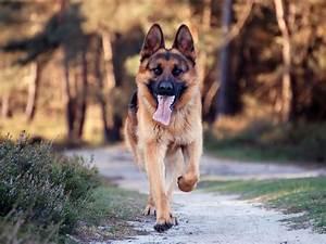 Running German Shepherd dog photo and wallpaper. Beautiful ...