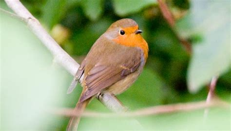 amazing facts about robins onekind