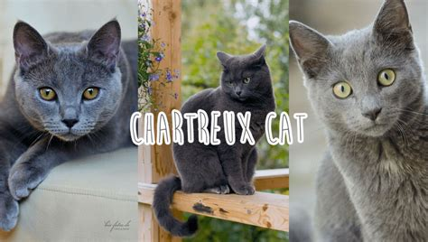 Photos Of My Cat Breed Chartreux (cat)