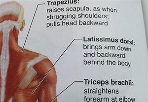 Flashcards - Muscles Human Body Back Side