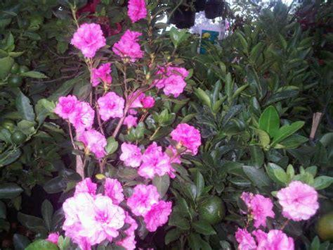 gambar tanaman azalea pink tumpuk bibitbunga gambar bunga