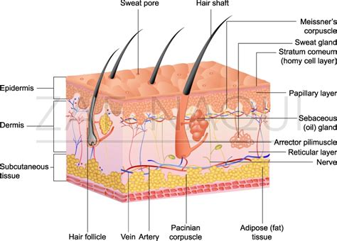 Boundless Anatomy And Physiology