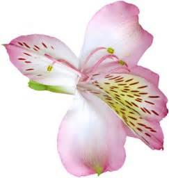 Transparent Pink Flower Lily