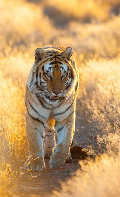 Golden Light Johan Barnard Tiger Roar