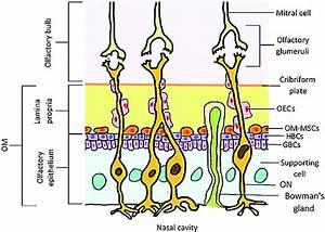 Schematic Representation Of The Olfactory Mucosa And