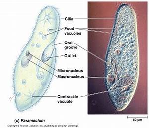 Labeled Paramecium Diagram