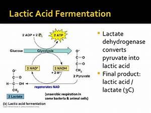 Cellular Respiration - Anaerobic