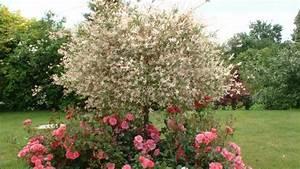 Quand Tailler Un Saule Crevette : jardin le saule crevette un arbuste tr s d coratif ~ Melissatoandfro.com Idées de Décoration