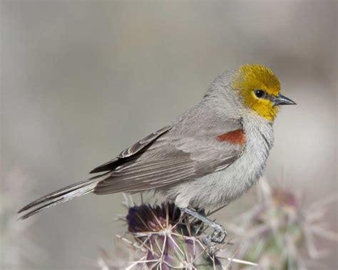 verdin audubon field guide