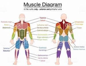 Sphincter Muscle Diagram