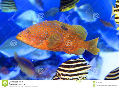 grouper redspotted healthy fish