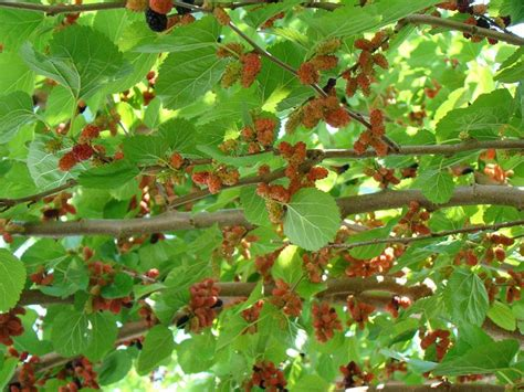 what trees berries what type of berry tree is this possibly mulberry familycorner com forums