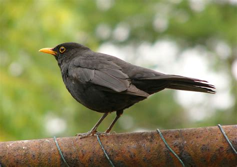 types of blackbirds video search engine at search com