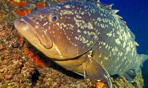 parasites groupers grouper mediterranean hosts even credit many brown don gery parent cc