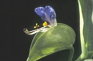 Commelina communis (Asiatic dayflower): Go Botany