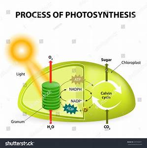 Diagram Process Photosynthesis Showing Light Reactions Stock Illustration 297450071