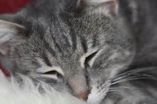 gray tabby cat marble gray tabby cat photograph by donna munro