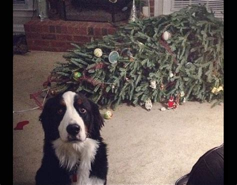 dog standing in front of a fallen christmas tree when