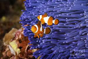 Ocellaris Clownfish Photograph by Anthony Totah