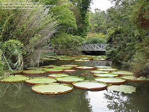 Plantfiles pictures amazon water lily royal waterlily for Gainesville botanical gardens
