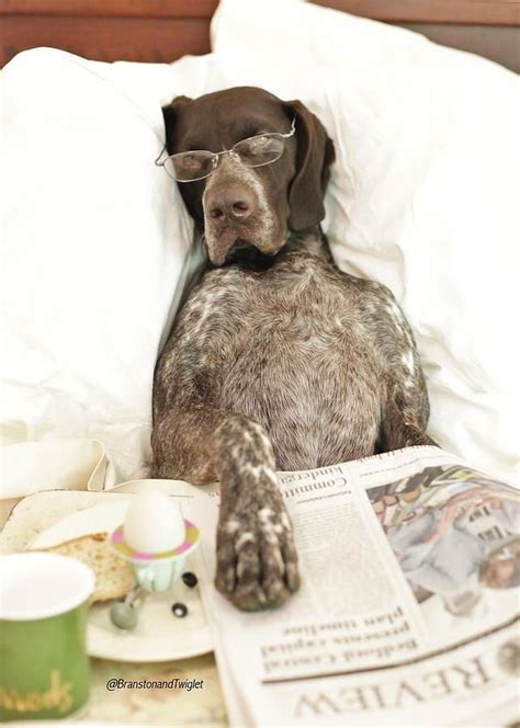 funniest german shorthaired pointer memes petpress