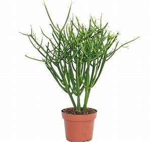Große Winterharte Kübelpflanzen : bleistiftkaktus euphorbia tirucalli grosse pflanze im ~ Michelbontemps.com Haus und Dekorationen