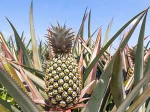 Plant D Ananas : pineapples rahan meristem ~ Melissatoandfro.com Idées de Décoration