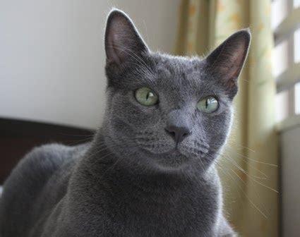 Shorthair British Cat