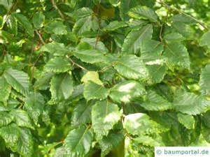 amerikanische kcheneinrichtung bilder 2 amerikanische buche fagus gandiflora