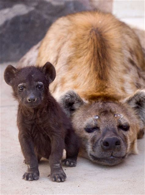 hyena cub zooborns
