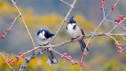 Birds Resting Cherry Wallpapers Mobile Desktop Backgrounds