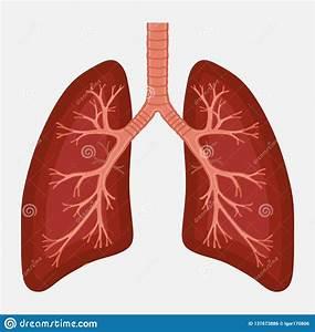 Human Lung Anatomy Diagram  Illness Respiratory Cancer
