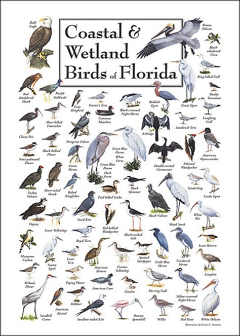 south west florida bird identification guide bing images