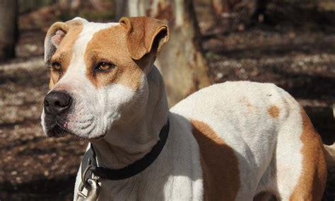 pitbull american pit bull terrier hund mit dunkler