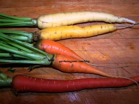 colorful carrots 4 colorful carrots gardening jones