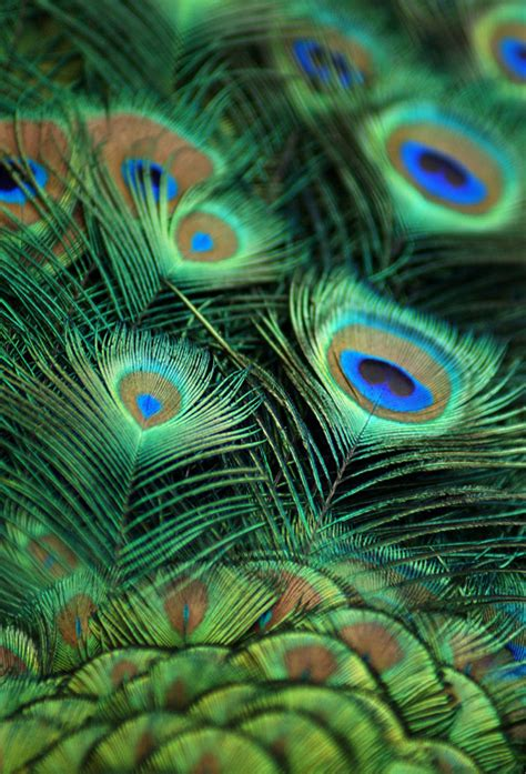 peacock feather wallpaper  living room wall decor