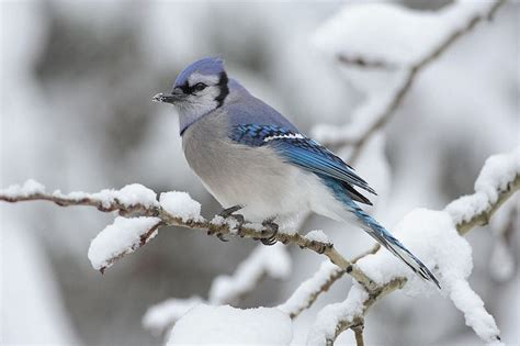 wild birds unlimited mysterious migration of the blue jays