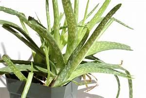 Aloe Vera Ikea : aloe vera plant car interior design ~ Preciouscoupons.com Idées de Décoration